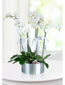 5 Dallı Orkide
