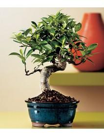 Bonzai Ağacı Dallı