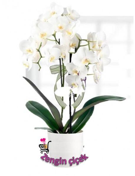 Dallı Orkide